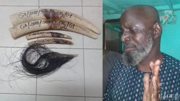 A Malian trafficker arrested with 4 tusks