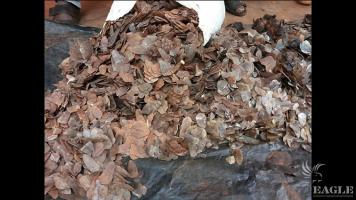 5 traffickers arrested with 45kg pangolin scales