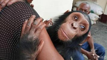 2 arrested and baby chimp rescued in Douala