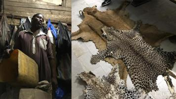 A notorious trafficker arrested with a lion skin and two leopard skins