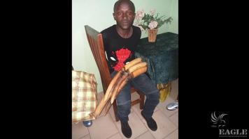 An ivory trafficker arrested with 4 tusks