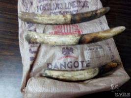 3 trafickers arrested with 3 tusks