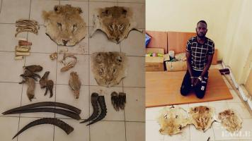 A trafficker arrested with 3 lion heads skins