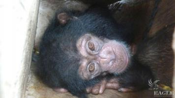 Baby Chimp Rescued from Arrested  Guinea Traffickers