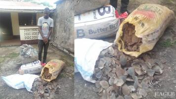 A trafficker arrested with 100 kg pangolin scales