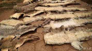 4 traffickers arrested with 20 crocodile skins