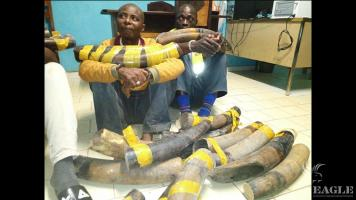 2 ivory traffickers arrested with 11 tusks