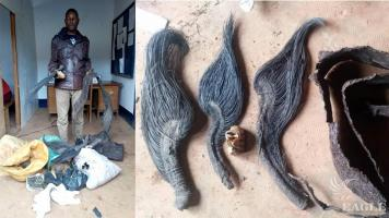 A trafficker arrested with 3 elephant tails