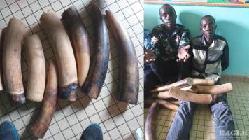 2 ivory traffickers arrested with 4 tusks