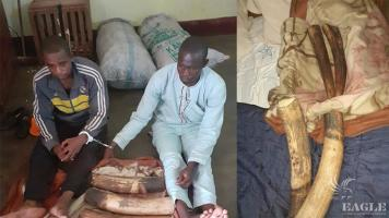 2 ivory traffickers, one of them repeat offender, arrested with 2 tusks