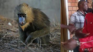 A military man arrested with a live mandrill