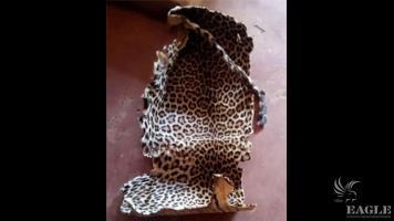 2 leopard skin traffickers arrested with a leopard skin