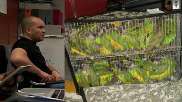 An Algerian parrot trafficker arrested at the airport in Dakar with 131 parrots