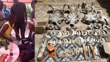 4 traffickers arrested with 20 kg of hippo teeth and skulls