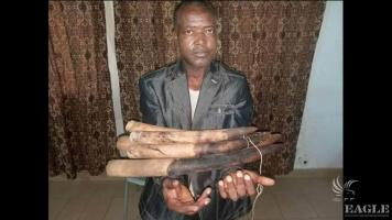 An ivory trafficker arrested with 6 tusks