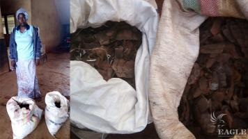 A pangolin scale trafficker arrested with 50 kg of pangolin scales