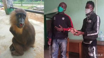2 primate traffickers arrested with a young mandrill