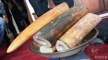 2 ivory traffickers arrested  with two tusks