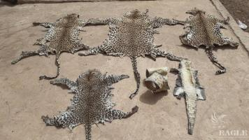 2 traffickers arrested with 4 leopard skins
