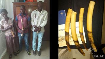 3 traffickers arrested with 4 elephant tusks