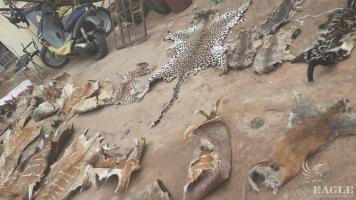 2 traffickers arrested with 24 wild animals' skins