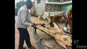 Two traffickers arrested with a lion skin and a leopard skin