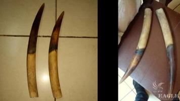 3 traffickers arrested with 2 elephant tusks