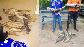 2 major traffickers arrested with 13 elephant tusks