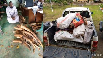 A trafficker arrested with 118 ivory tusks