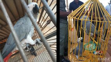 A notorious and longtime parrot trafficker arrested