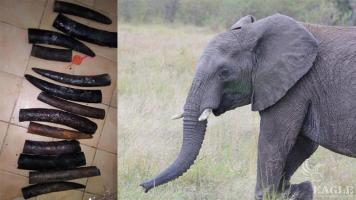 An ivory trafficker arrested with 13 pieces of ivory