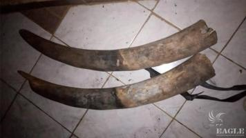 2 traffickers arrested with two tusks