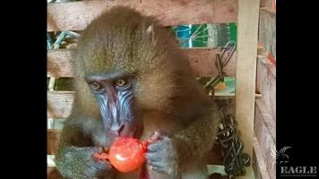 A customs official arrested with live mandrill