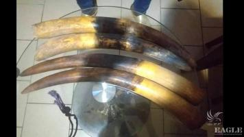 2 ivory traffickers arrested with 4 elephant tusks.