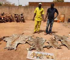 2 traffickers arrested with 3 leopard skins, a hyena skin and 17 hippo teeth