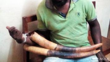 A trafficker arrested with two elephant tusks