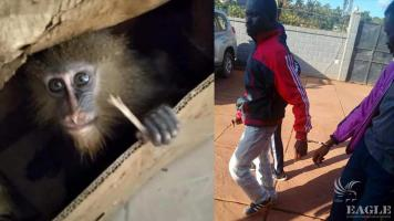 2 primate traffickers arrested and a small mandrill rescued