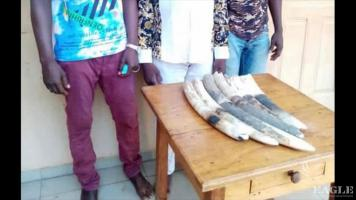 3 traffickers arrested with 6 ivory tusks