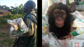 A baby chimp rescued and a trafficker arrested.