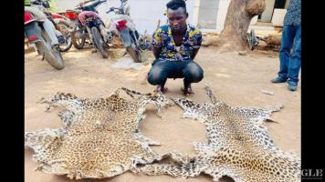 A trafficker arrested with 2 leopard skins