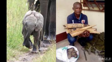 2 traffickers arrested with tusks of a mother and a baby