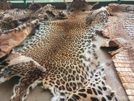 4 traffickers arrested with 3 leopard skins and a crocodile skin