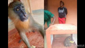 A trafficker arrested with a baby mandrill