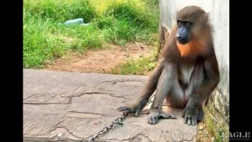 Another mandrill rescued and a trafficker arrested