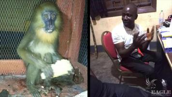 Another baby mandrill rescued and trafficker arrested