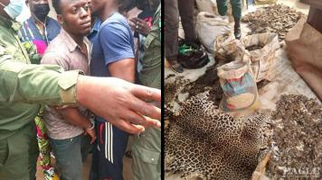 A trafficker arrested with 3 leopard skins and 331 kg of Pangolin scales