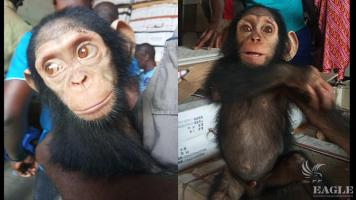 Two arrested with a baby chimp