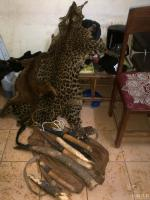 November 2014, Gabon: Arrest of 2 wildlife traffickers with 6 ivory tusks, a leopard skin and an African golden cat.