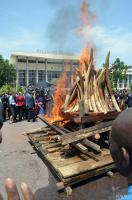 April 2015, Congo: Almost 5 tonnes of ivory was burned in Brazzaville.