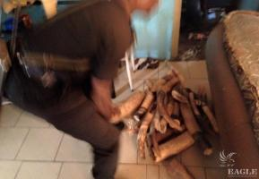 January 2015, Congo: 2 traffickers were arrested in Brazzaville with 126 kg ivory, representing a killing of 30 elephants just for this shipment alone.
